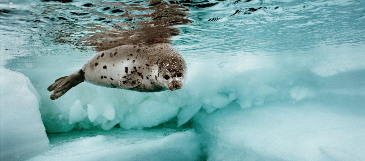 Brian Skerry Harp Seal