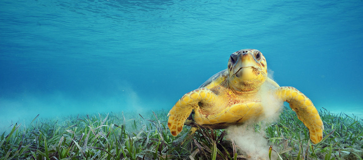 Loggerhead Turtle feeding on sea grass, Belize.